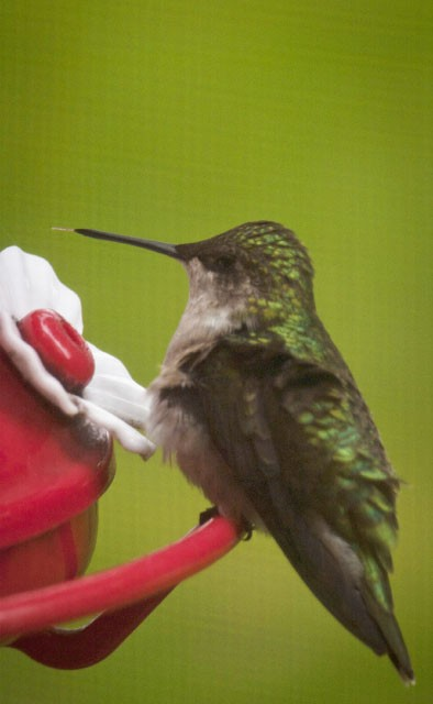 Humming Bird Tongue